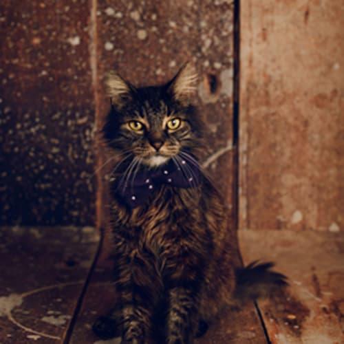 Walter - Domestic Medium Hair Cat