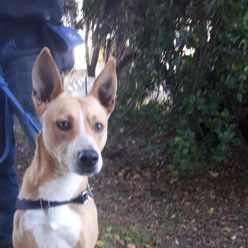 Hamish - Staffordshire Bull Terrier X Dog