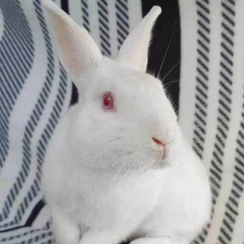 Jojo - Domestic Rabbit