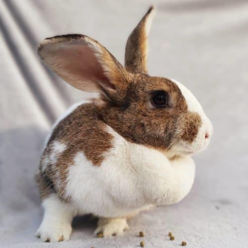 Naomi - Flemish Giant Rabbit