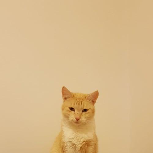 Malibu - Manx Cat