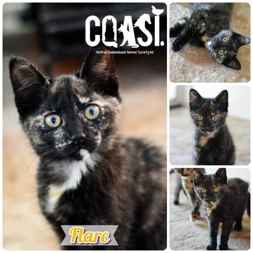 Flare - Domestic Short Hair Cat