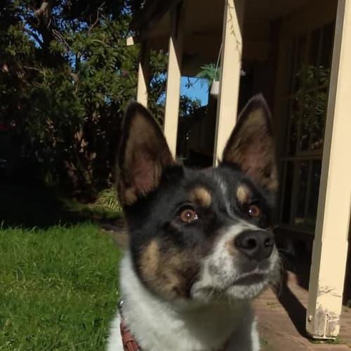 Atticus - Kelpie x Husky Dog