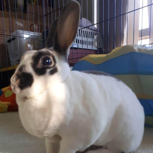 Josie - Rex Rabbit