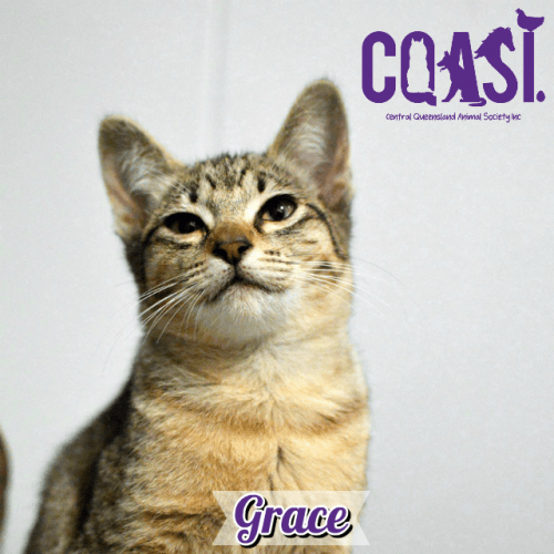 Grace - Abyssinian Cat