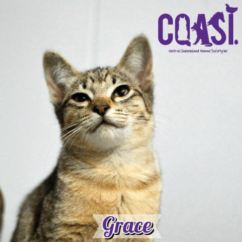 Grace - Abyssinian Cat