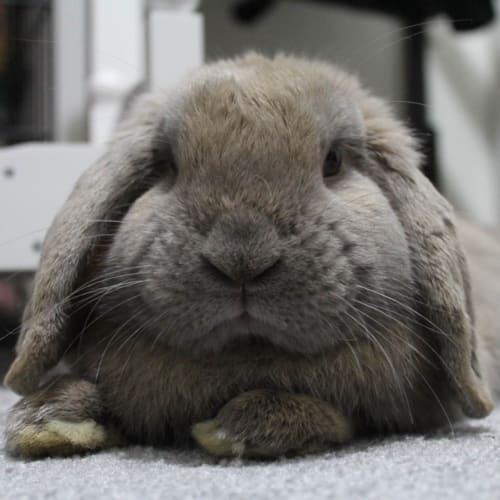 Rupert  - Dwarf lop Rabbit