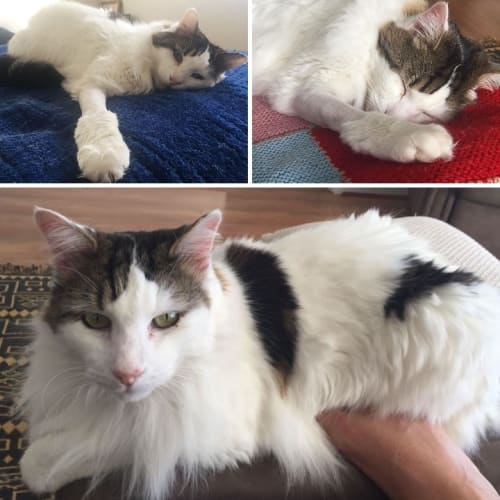 3365 – Basil - Domestic Medium Hair Cat