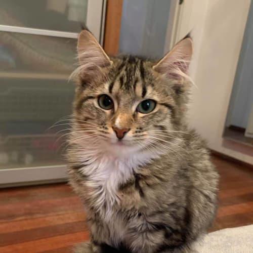 3283 – YoYo - Domestic Short Hair Cat
