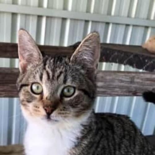 Rexie - Domestic Short Hair Cat
