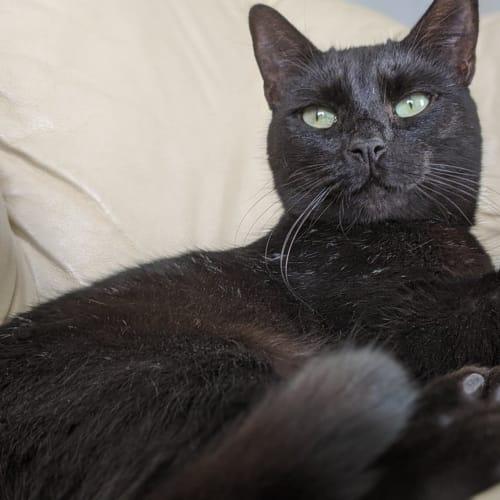 Dawn - Bombay Cat