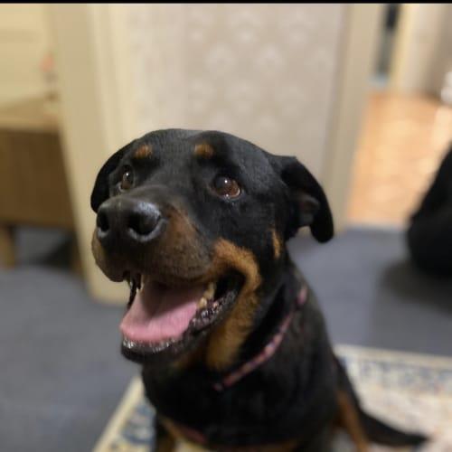 Missy  - Rottweiler Dog
