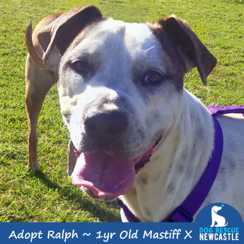 Ralph ~ 1yr Old Mastiff X - Mastiff Dog
