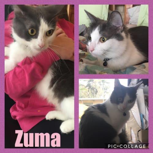 Zuma - Domestic Long Hair Cat
