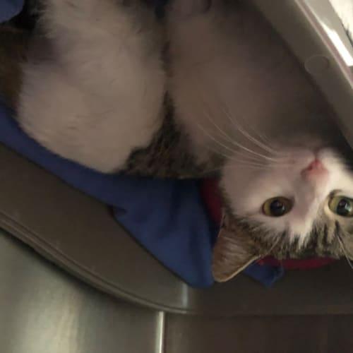 Sundae - Domestic Short Hair Cat