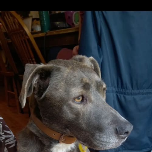 Buddha - American Bulldog x Border Collie Dog