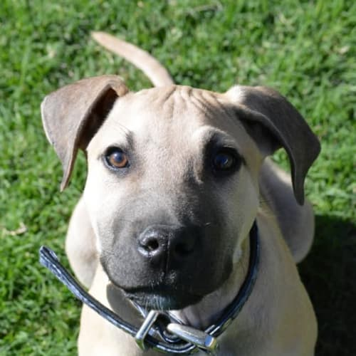 Chopper (Adoption Pending) - Mastiff x Bull Arab Dog