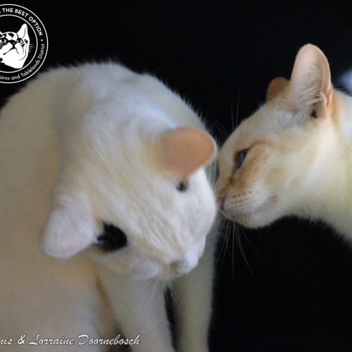 Karma & Kimba - Domestic Short Hair Cat