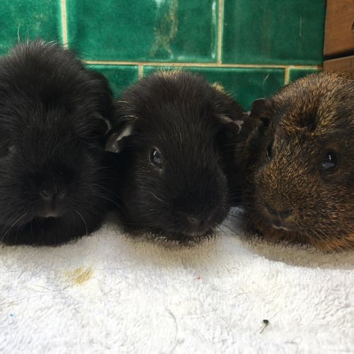 Elsa, Daisy and Pepper -  Guinea Pig