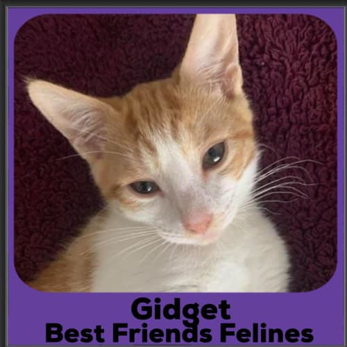 Gidget  - Domestic Short Hair Cat