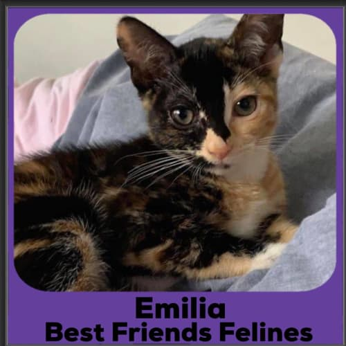 Emilia  - Domestic Short Hair Cat
