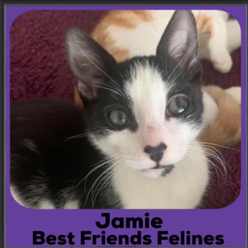 Jamie  - Domestic Short Hair Cat