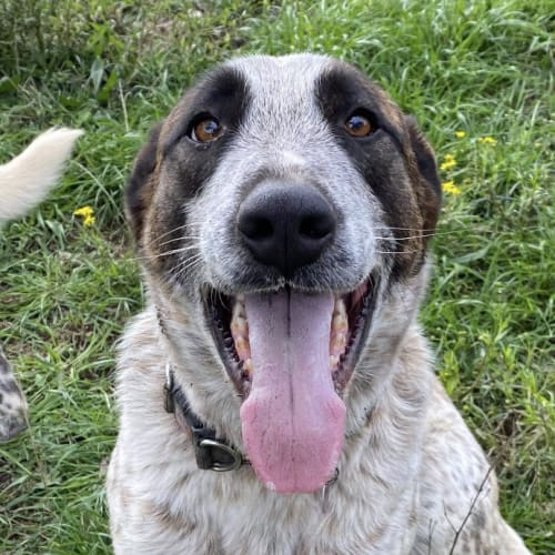 Alaska ~ 2 yo Cattle Dog x Shepherd - Cattle Dog x Deer Hound x Mastiff x German Shepherd Dog