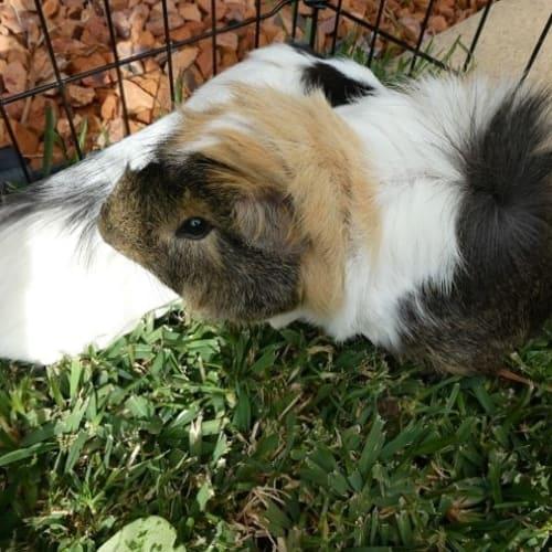 Walden -  Guinea Pig