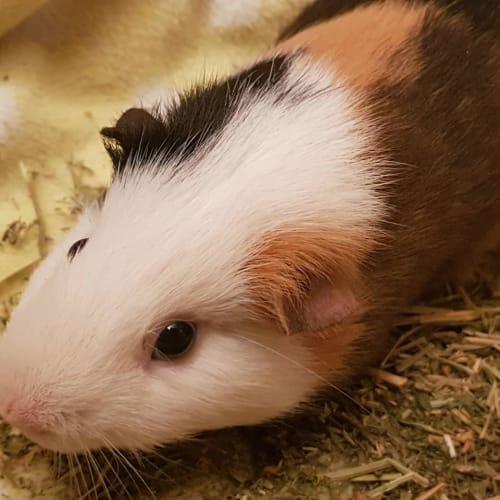 Maxi -  Guinea Pig