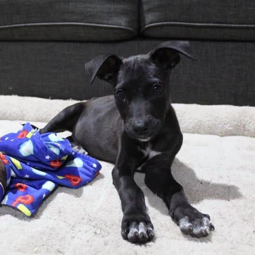 Slater - Kelpie Dog