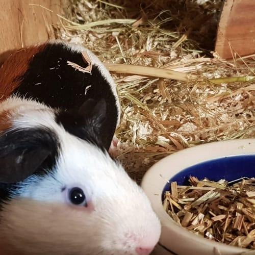Neville -  Guinea Pig