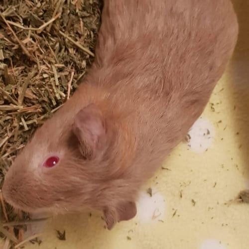 Ash -  Guinea Pig