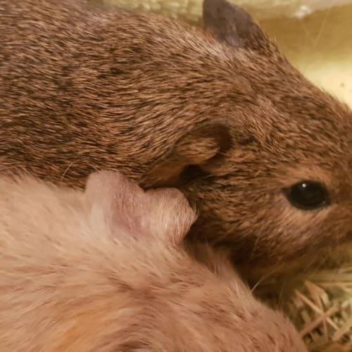 Choco -  Guinea Pig