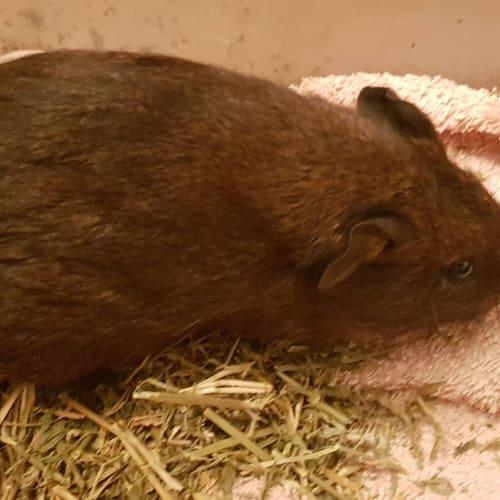 Muffin -  Guinea Pig