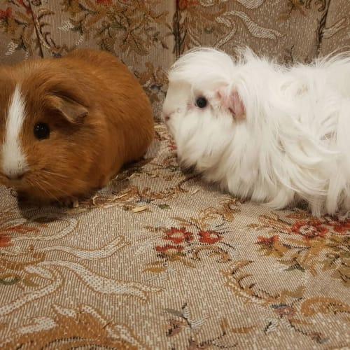 Cream -  Guinea Pig