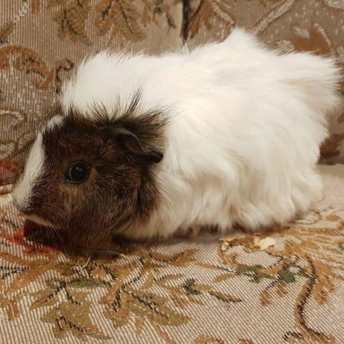 Petal - Abyssinian Guinea Pig