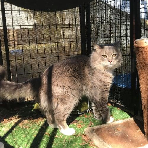 Franklin - Domestic Long Hair Cat