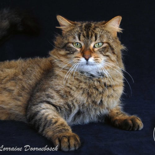Titan - Domestic Medium Hair Cat