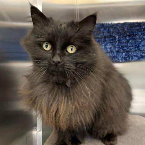Frida - Domestic Longhair Cat