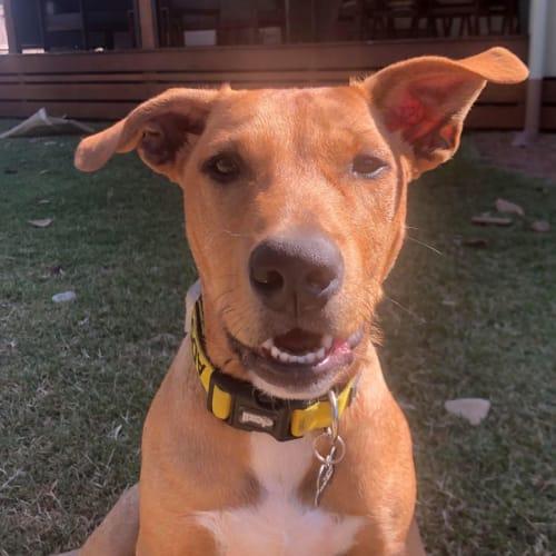 Narla - Rhodesian Ridgeback Dog