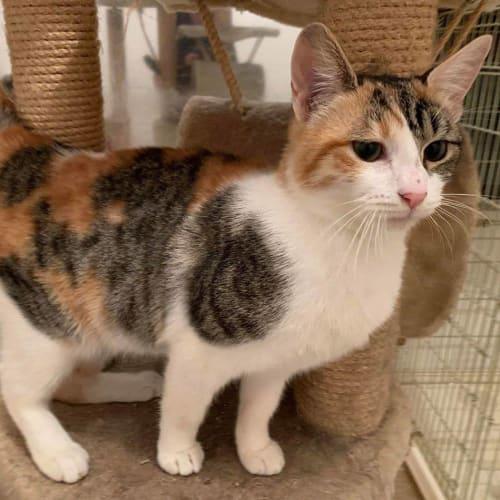 3074 - Sobrante - Domestic Short Hair Cat