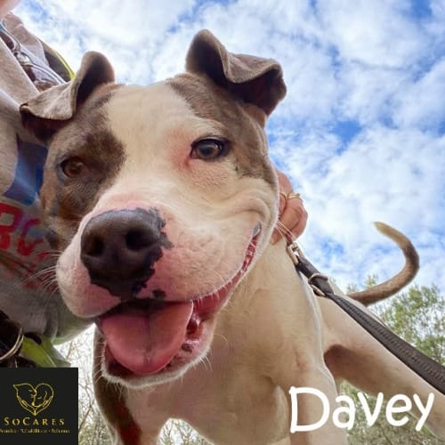 Davey - American Staffordshire Bull Terrier Dog