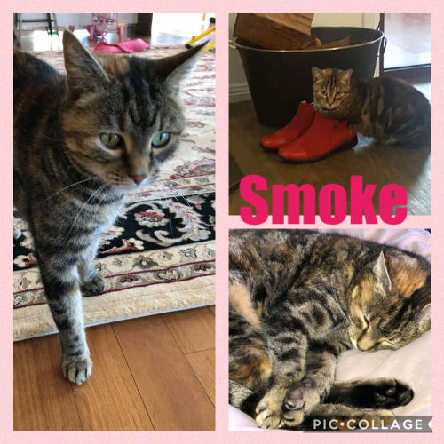 Smoke - Domestic Short Hair Cat