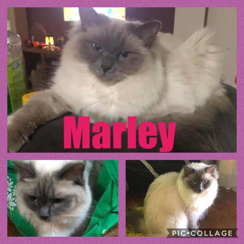 Marley - Ragdoll Cat
