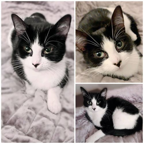 3412 - Trixie - Domestic Short Hair Cat