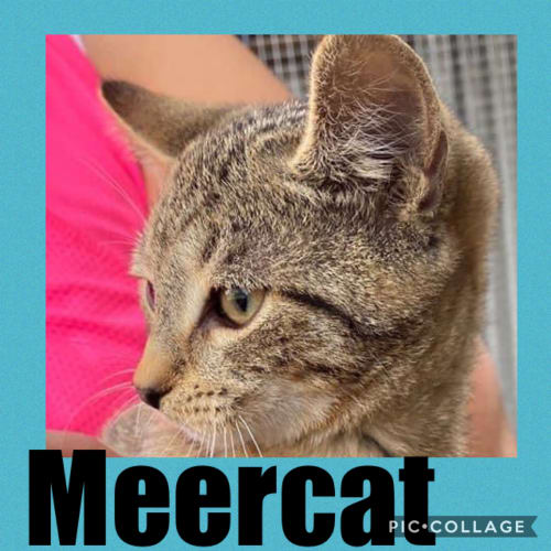 Meercat - Domestic Short Hair Cat