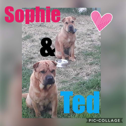 Sophie and Ted - Shar-Pei Dog