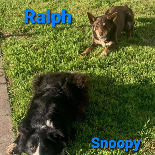 Snoopy Ralph - Border Collie x Kelpie Dog