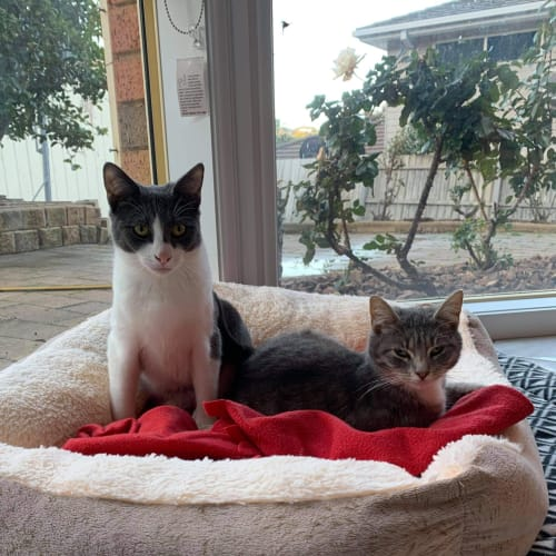 Bounty and Bindie ❤❤ - Domestic Short Hair Cat