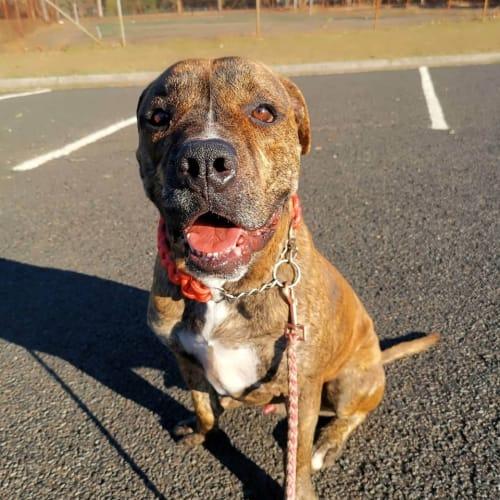 Mato - Boxer x American Staffordshire Terrier Dog